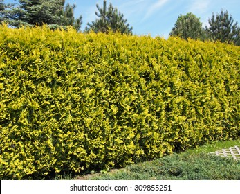 thuja hedge images stock photos vectors shutterstock