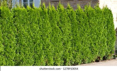 thuja - hedge - cupressaceae