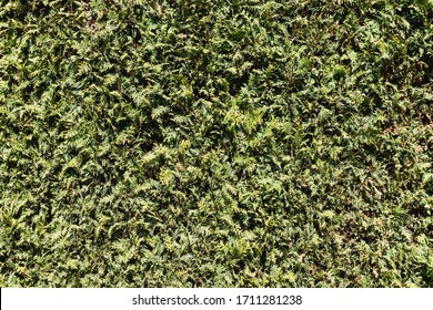 Thuja hedge texture. Home garden wall background. American Arborvitae plant pattern. Evergreen Thuja occidentalis type decorative fence.