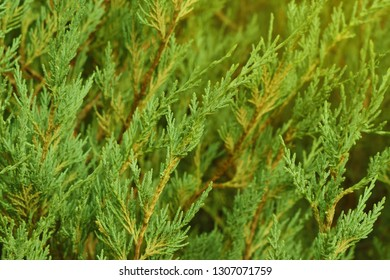 Thuja leaves in sunshine light, green thuja leaf, natural thuja trees close up in warm light. Background with copy space