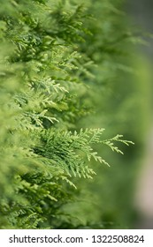 Thuja macro closeup. Healthy thuja branches and twigs green background with selective focus. Green thuja hedge