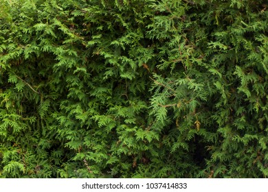 Thuja occidentalis background, texture: natural green beautiful fence, close