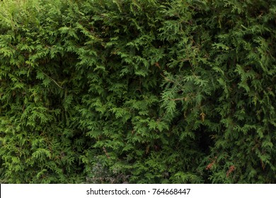 Thuja occidentalis background, texture: natural green beautiful fence