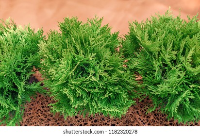 Thuja occidentalis Danica. The ornamental, garden, spherical shape of the young saplings.