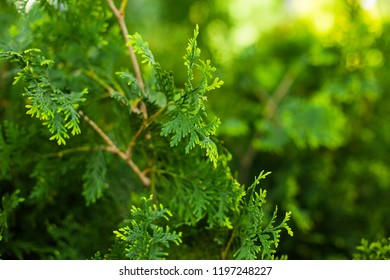 Thuja occidentalis. Evergreen coniferous tree from the family of cypress