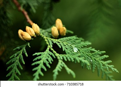 Thuja occidentalis is an evergreen coniferous tree, in the cypress family Cupressaceae.Blossom.Closeup