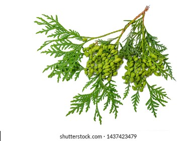 Thuja occidentalis, also known as northern white-cedar or eastern arborvitae branch isolated on white background. Herbarium series.