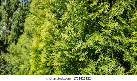 Thuja occidentalis Smaragd (northern or eastern white cedar). Close-up of bright yellow-green texture of natural greenery leaves. Selective focus.