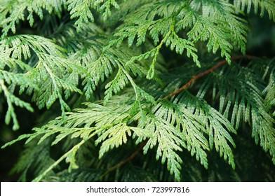 Thuja plicata green branch background