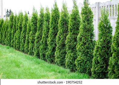 Thuja, row of trees in the garden