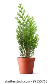 Thuja sapling in a pot. Isolated on a white.