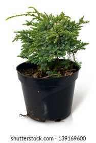 A Thuja seedling in a pot