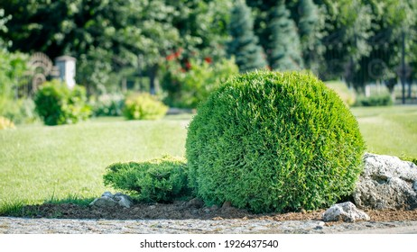 Thuja in the shape of a ball in the backyard. Evergreen plant for landscaping.