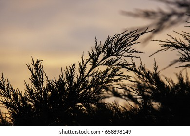 Thuja silhouette at sunset
