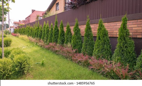 Thuja trees in the back yard. A long row of cedars planted along the wall, landscape design