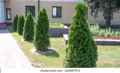 Thuja trees in the city landscape on the background of a lowbuilding.  Row of thuja trees.