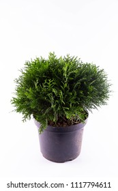 A thuja the western Danika of an aure in a pot