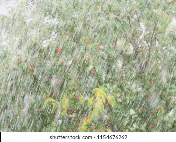 Thunderstorm with heavy hail and sleet showers in summer, blurred background. Natural cataclysm. Rain with snow. Rowans or mountain-ashes green branches with bunches of red berries in a hurricane