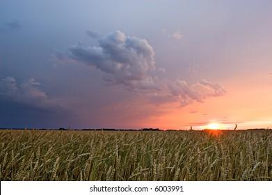 Thunderstorm sunset over grain fields