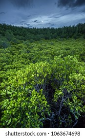 Thung Prong Thong (Ceriops field) mangrove forest, one of natural landmark of Rayong, eastern Thailand