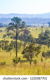 Thung salaeng Luang National Park . Savannah field and pine tree . Phetchabun and Phitsanulok province . Northern of Thailand . Telephoto view .