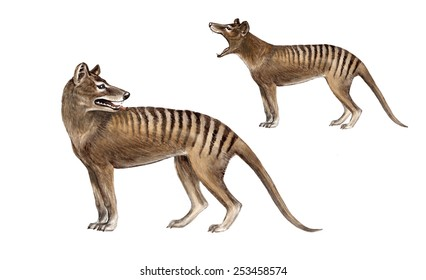 The thylacine (Thylacinus cynocephalus) was the largest known carnivorous marsupial of modern times