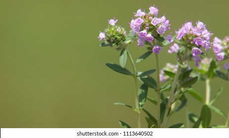 Thyme and copy space, Thymus vulgaris