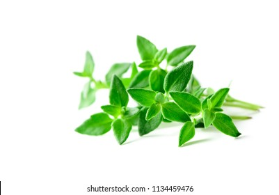 Thyme fresh herb closeup isolated on white background. It is an aromatic perennial evergreen herb with culinary, medicinal, and ornamental uses