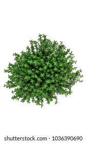 thyme fresh herbs (thymus vulgaris) shadowless isolated on white