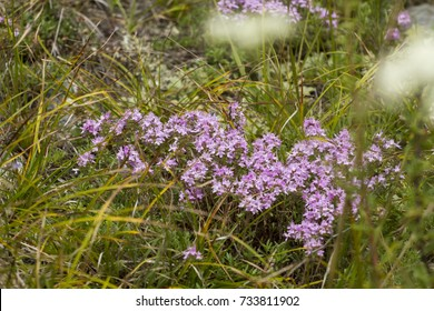 Thyme grows in the Altai mountains