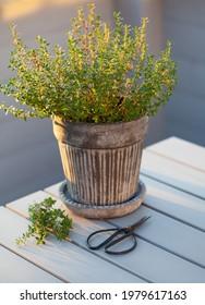 thyme herb in flowerpot on balcony, urban container garden concept