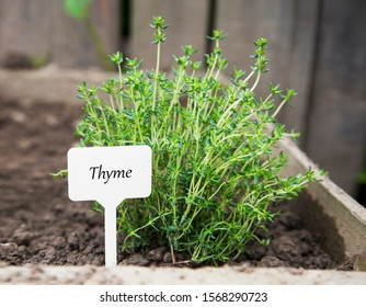 Thyme herb, fresh culinary herb in the garden with label