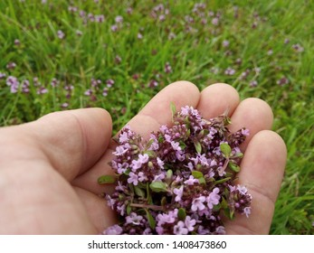 Thyme herb in hand against thyme field