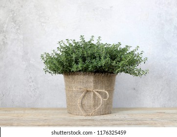 Thyme in a pot on a wooden background. Fresh herb