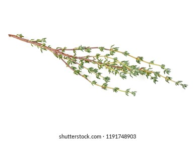 Thyme twig on a white background