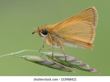 thymelicus acteon-dorada oscura