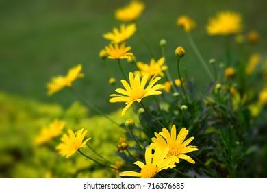 Thymophylla, Yellow flowers