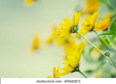 Thymophyllia,yellow flowers, natural summer background, blurred image, selective focus
