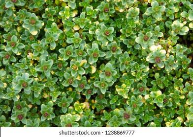 Thymus citriodorus or lemon thyme or  doone valley green plant background