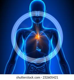 Thymus - Female Organs Human Anatomy