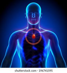 Thymus - Male Anatomy of Human Organs