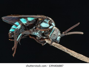 Thyreus nitidulus, commonly known as the neon cuckoo bee, is a parasitic bee of the genus Thyreus, called cuckoo bees. It is a stocky bee, notable for its brilliant metallic blue- and black-banded co