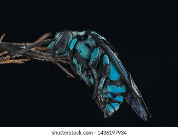 Thyreus nitidulus, commonly known as the neon cuckoo bee, is a parasitic bee of the genus Thyreus, called cuckoo bees. It is a stocky bee, notable for its brilliant metallic blue- and black-banded col