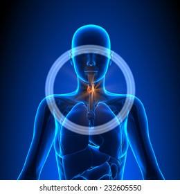 Thyroid - Female Organs Human Anatomy