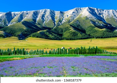 Tianshan Ranges with Lavender Fields in the foreground, Xinjiang, China