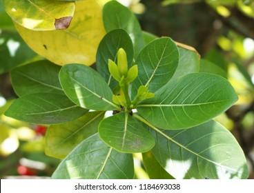 Tiare flower bud on shrub