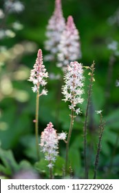 Tiarella Pink Skyrocket ornamental garden flower in bloom, pink white flowering plant, group of small flowers on one stem