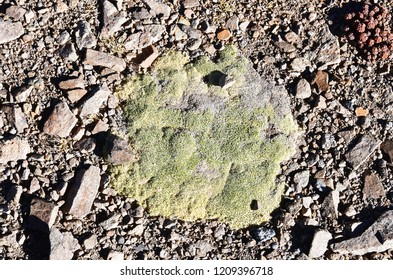Tibet, scale lichen at an altitude of more than 5000 meters