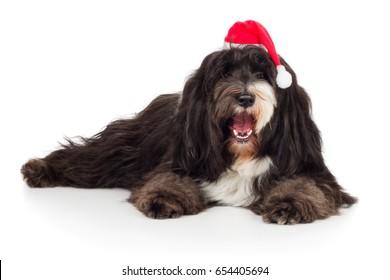 Tibet Terrier dog is lying with Christmas hat on head joyfully laughing on floor