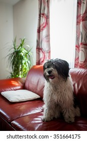A Tibet Terrier sitting on a red sofa